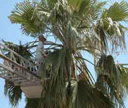 Kemer palmiyeler