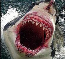 Fransız turiste köpek balığı saldırısı