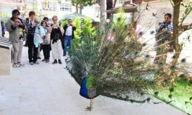 Alanya Müzesi'nin tavus kuşlarına büyük ilgi