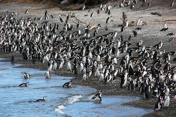 arjantin-patagonya-penguen