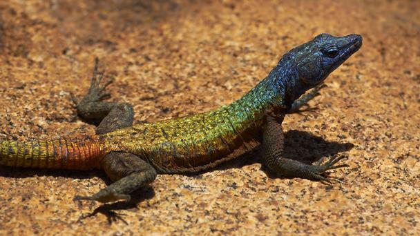 zimbabwe-iguana-3423