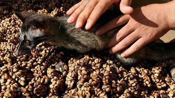 Kopi Luwak Bali Kahvesi