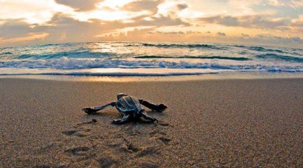 Yavru Deniz Kaplumbağları