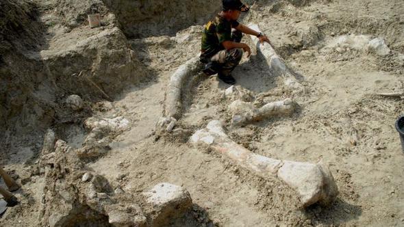 Endonezya Stegodon Fil Fosili