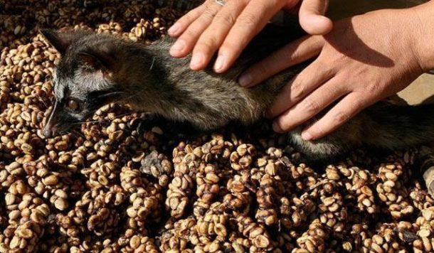 Luwak Kahvesi Tadımı