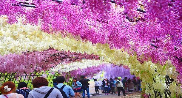Kawachi Fuji Bahçeleri