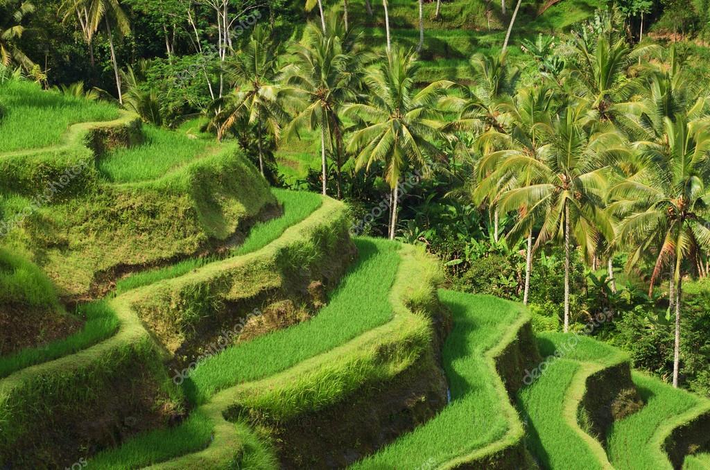 Ubudun pirinç tarlalarını keşfedin