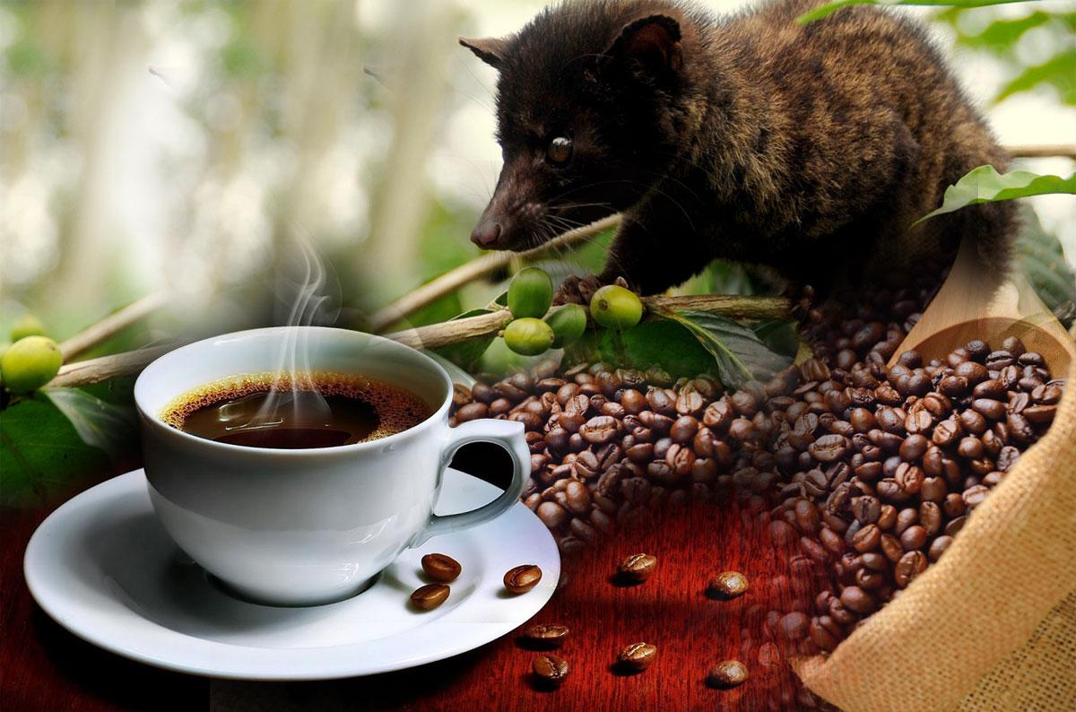 Dünyanın en pahalı kahvesi Luwak'ın tadına bakın