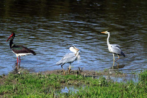 Samsun Kızılırmak Deltası Kuş cenneti Yılkı atlarına da ev sahipliği yapıyor