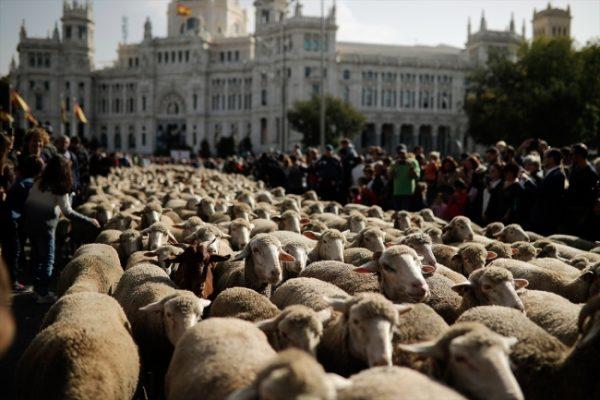 Madrid sokaklarında 1500 koyunla Trashumancia Şenliği