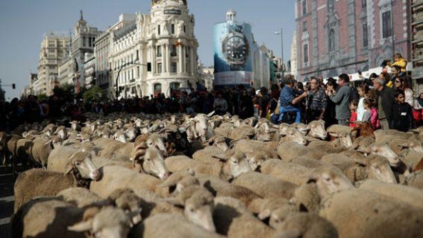 İspanya'nın başkenti Madrid sokaklarında 1500 koyunla Trashumancia Şenliği düzenlendi
