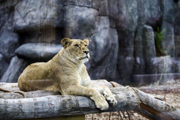 Türkiye'nin ilk Aslan Parkı Tuzla'da açıldı!