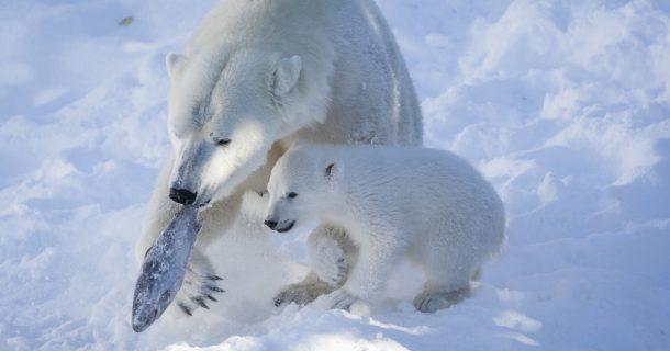 Kutup Ayıları, Yaban Geyikleri... Ranua Yaşam Parkı