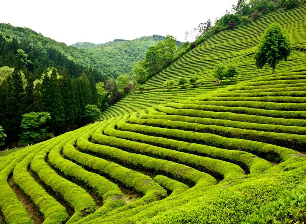Boseong Yeşil Çay Festivali