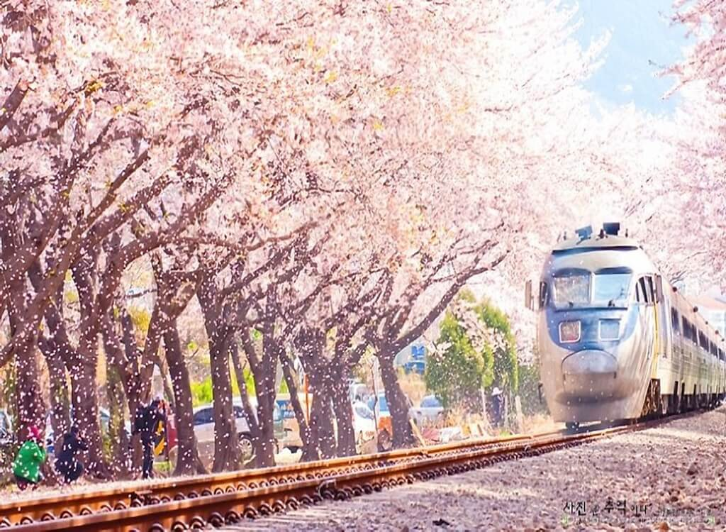 Jinhae Kiraz Çiçeği Festivali