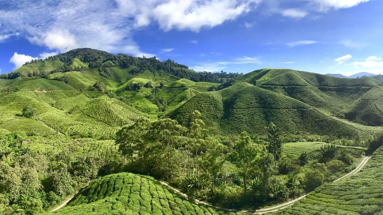 Malezya Çay Tarlaları