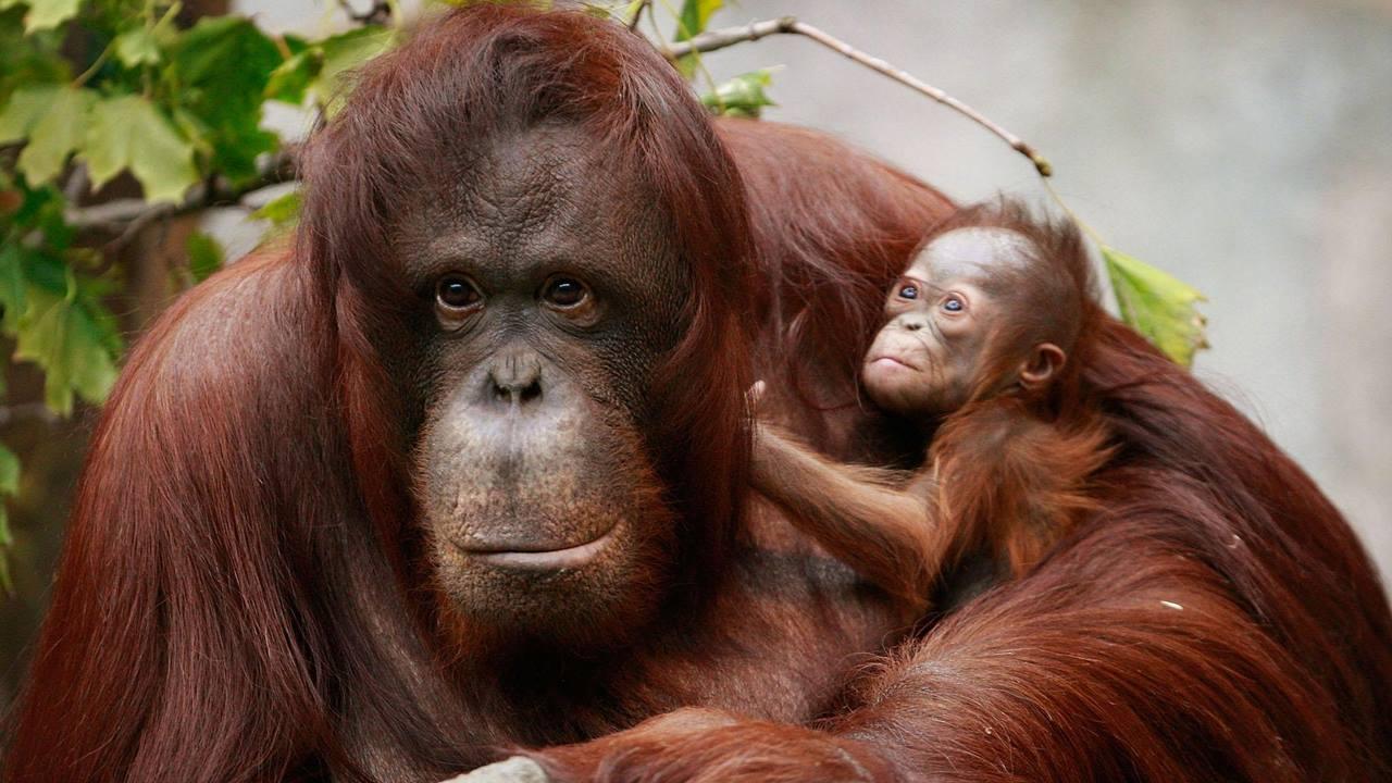 Malezya gezilecek Yerler: Borneo Orangutanı