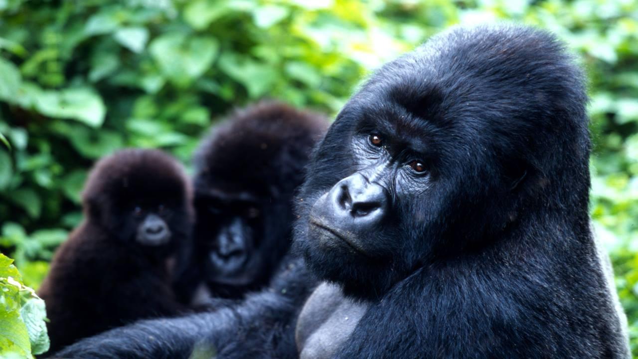Uganda Goril Safarisi